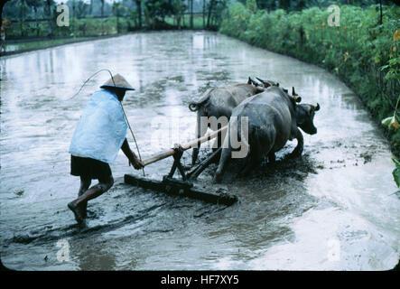 Hard work in the rice fields with water buffaloes; near Yogjakarta, Java, Indonesia. - Stock Image