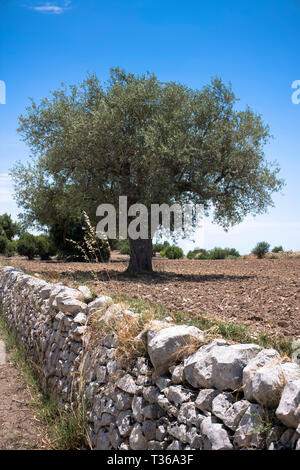 Typical olive tree and dry stone wall in Sicily, Italy - Stock Image