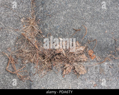 Dead weeds growing out of cracks in paving stones during the UK 2018 heatwave / drought - more likely killed with a weedkiller like Roundup.. - Stock Image