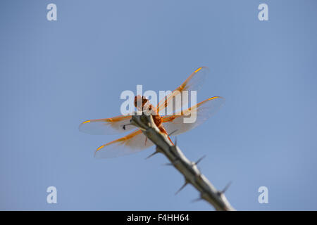 Dragonfly on cactus - Stock Image