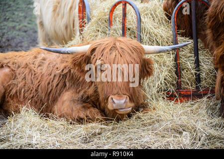 Highland Cattle at the Torridon Hotel, Applecross Peninsula, Wester Ross, Highland Region, Scotland - Stock Image