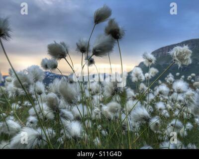 Cotton grass - Stock Image