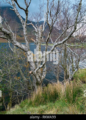 Old silver birch tree (Betula pendula) with silver bark on the shore of Buttermere in the English Lake District, Cumbria, UK - Stock Image