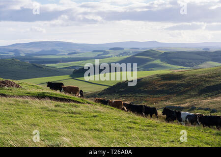 Border scenery in the Cheviot hills where Scotland joins England. Cattle at Townfoot. - Stock Image