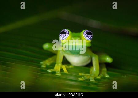 Ghost glass frog (Sachatamia ilex) Central Caribbean foothills, Costa Rica - Stock Image