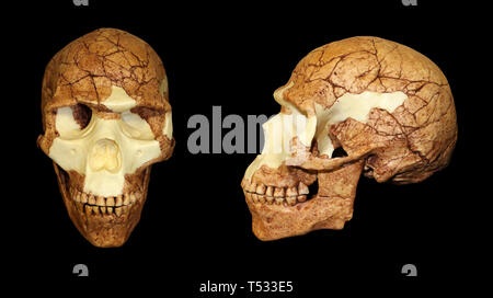 Homo sapiens skull fossil - Skhul 5 - Stock Image