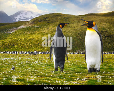 Low angle view of two king penguins looking like they are talking on the grassy salisbury plain on South Georgia - Stock Image