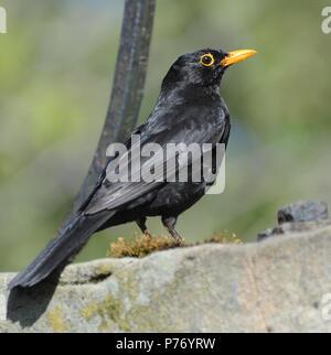 A male blackbird (Turdus merula) on a stone wall. Ballycastle, Antrim, Northern Ireland. - Stock Image