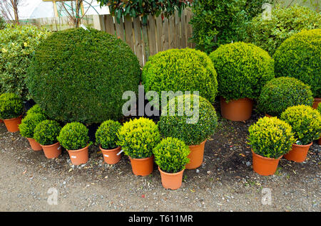 Buxus Ball  potted box bushes feature plants for sale in a Durham Garden centre - Stock Image