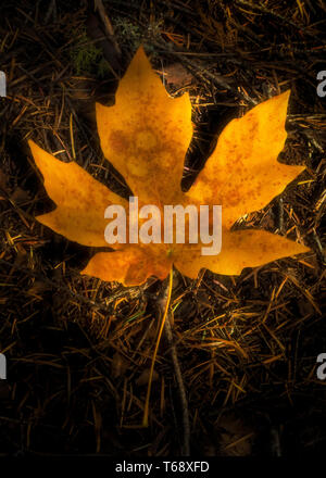 Big yellow Maple, Acer macrophyllum leaf on the ground with leaf spots at Calaveras Big Trees State Park in California, USA- plant disease concept - Stock Image