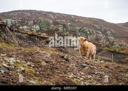 Highland cattle on the landscape in Donegal, Ireland - Stock Image