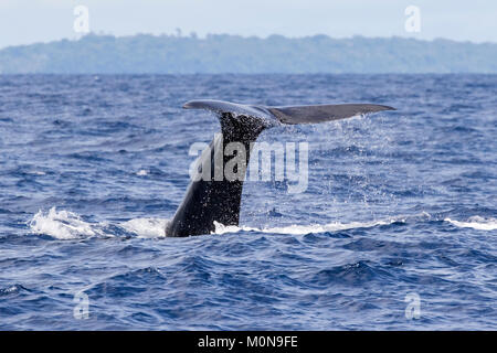 Female Sperm Whale (Physeter macrocephalus) surfacing for breath before diving down. They sometimes getting curious - Stock Image