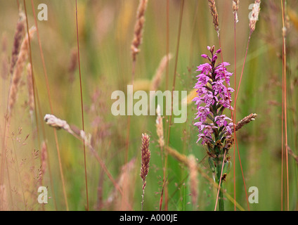 Close up of Purple Marsh Orchid amongst grasses - Stock Image