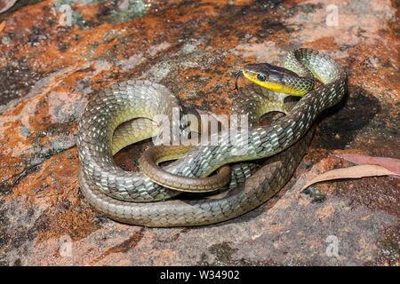 Common Tree Snake - Stock Image
