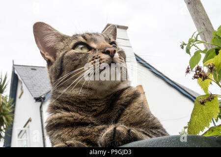 Looking up at a tabby cat (Bengal cat) lying on a green metal garden table, house and chimney behind. - Stock Image