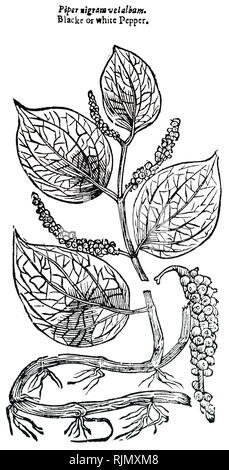 An engraving depicting PEPPER plant. From John Parkinson Theatrum Botanicum or the Theater of Plantes, London, 1640 - Stock Image