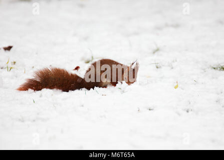 Eurasian red squirrel (Sciurus vulgaris) in snow - Stock Image