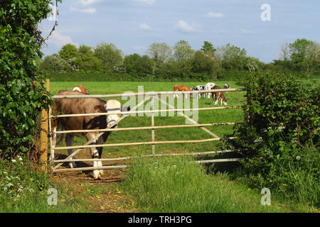 A young heifer stands by a field gate near the north Oxfordshire village of Hook Norton - Stock Image