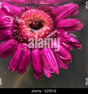 Close-up of a pink gerbera daisy flower head floating in murky plant water inside a vase. - Stock Image