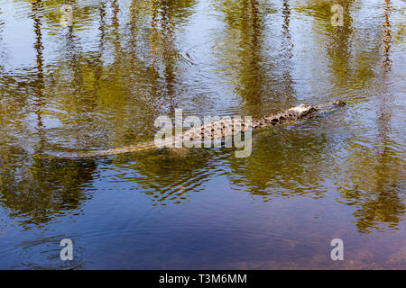 An American alligator swimming in Okefenokee swamp on a sunny day. - Stock Image