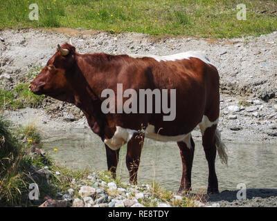 Bull on pasture - Stock Image