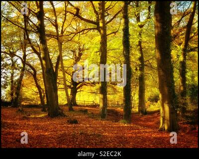 A woodland scene in Autumn. Tall trees, nice lighting, interesting colours. Photo Credit - © COLIN HOSKINS. - Stock Image
