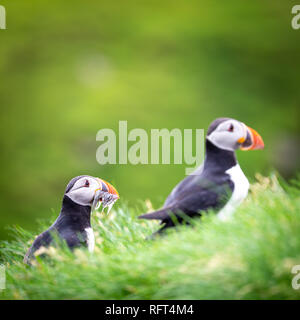 Puffins at Faroe Islands, landscape. Wild europe - Stock Image