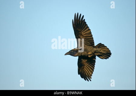Common raven Corvus corax adult in flight Wales January - Stock Image