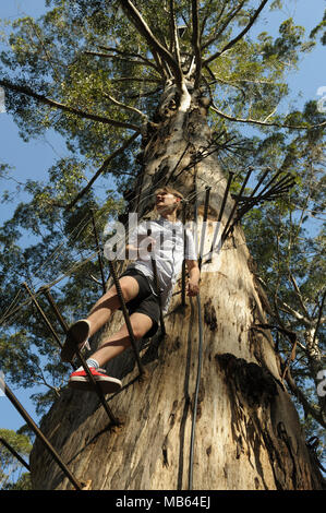 Teenager climbing the 53 metre tall Gloucester Tree, Pemberton, Western Australia - Stock Image