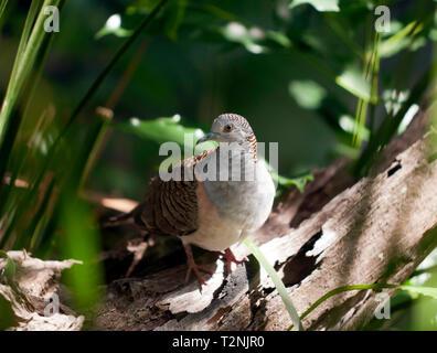 A peaceful dove at Hartley's Crocodile Adventures, Captain Cook Highway, Wangetti, Queensland, Australia. - Stock Image