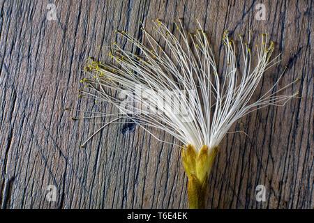 shaving brush tree flower - Stock Image