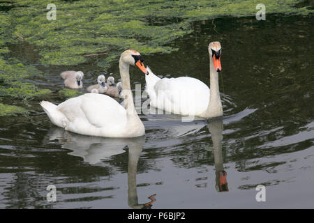 UK, Wales, Cardiff, Bay, Wetlands Reserve, swans, cygnets, - Stock Image