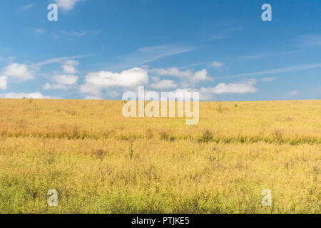 Cropped agricultural field (ripening oilseed rape) with blue summer sky. - Stock Image