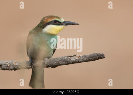 European Bee-eater fledgling in Andalucia - Stock Image