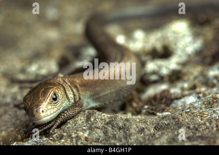 Young european common lizard (Lacerta vivipara) - Stock Image