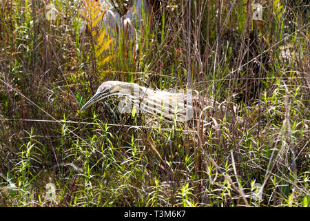 An American bittern wading and feeding in the Okefenokee swamp. - Stock Image