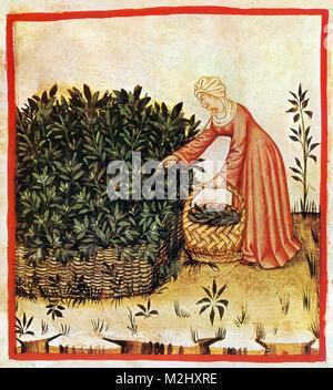 'Tacuinum Sanitatis', Sage - Stock Image