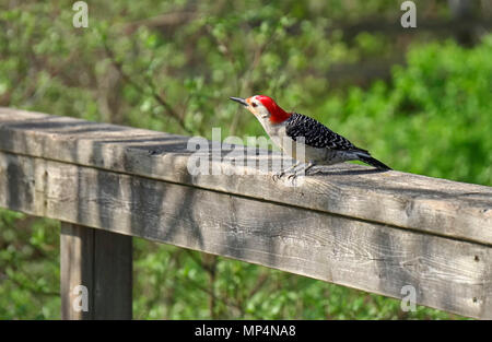 Red bellied woodpecker a female bird on boardwalk in Hendrie Valley Sanctuary, Royal Bontanical Gardens, Burlington, Ontario, Canada - Stock Image
