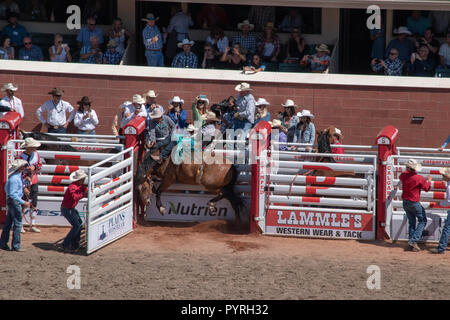 Saddle Bronc competitor leaves the chute at the Calgary Stampede Rodeo, Stampede Grounds, Calgary, Alberta, Canada - Stock Image