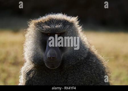 Kenya, Nakuru county, Hell's Gate National Park, baboon - Stock Image