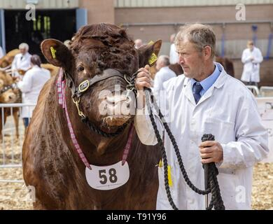 Exeter, Devon, UK. 16th May 2019 Ruby Red Devon cattle in the showring on the first day of the Devon County Show, at the Westpoint Showground, Exeter Credit: Photo Central/Alamy Live News - Stock Image