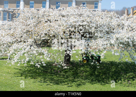 Newlyn, Cornwall, UK. 27th Mar, 2019. UK Weather. Bright sunny afternoon at Wherrytown, near Newlyn in Cornwall. Gardeners were out mowing the grass around this blossom tree. Credit: Simon Maycock/Alamy Live News - Stock Image