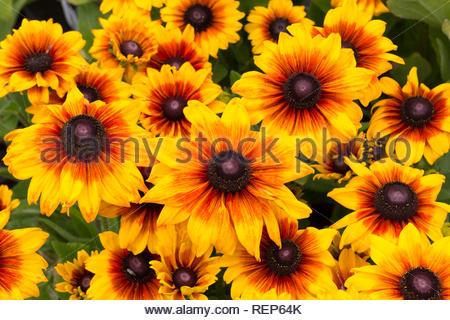 Rudbeckia flowers - varieyy is Summerina - Stock Image