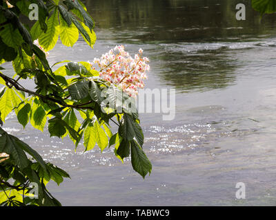 Blooming flower of chestnut tree rising on the river bank. - Stock Image