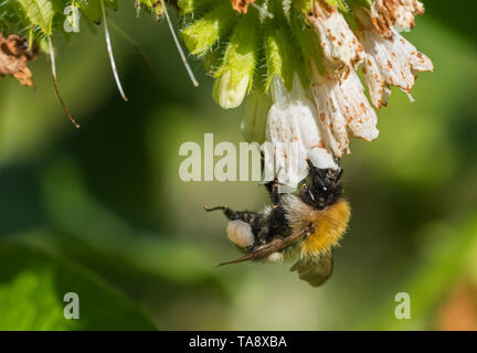 Buff-tailed bumblebee (Bombus terrestris) collecting pollen from a flower in Spring (May) in West Sussex, England, UK. - Stock Image