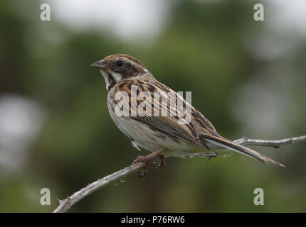 A female reed bunting (Emberiza schoeniclus) Dungeness Nature Reserve, Dungeness, Kent, UK. - Stock Image
