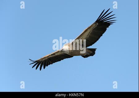 Eurasian griffon vulture (Gyps fulvus) adult in flight. Gamla, Golan Heights, Israel. January 2015. - Stock Image