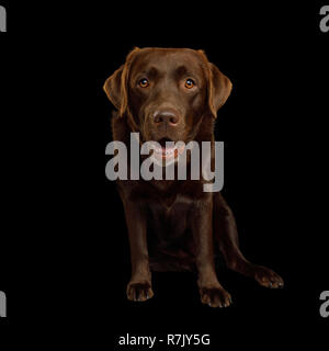 Funny Labrador retriever dog Sitting and Stare in camera on isolated black background, front view - Stock Image