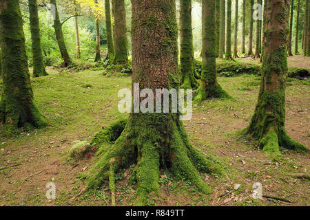 Woodland scene with conifer trees at Glengarra Woods, Cahir, Tipperary - Stock Image