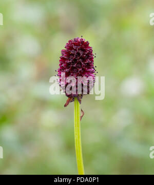 Closeup of a Red Burnet flower head inflorescence (Sanguisorba officinalis) - Stock Image